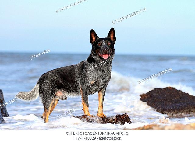 standing Australian Cattle Dog