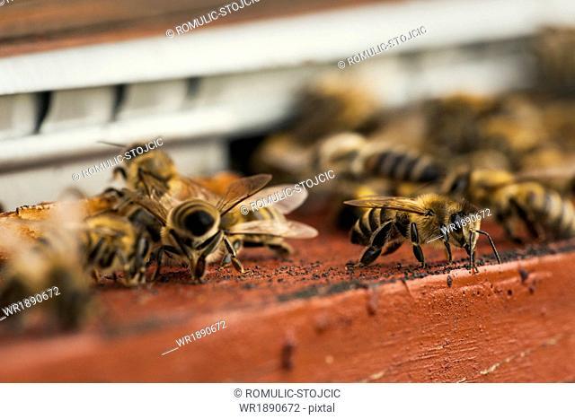 Beehive,(Apis mellifera), Croatia, Europe