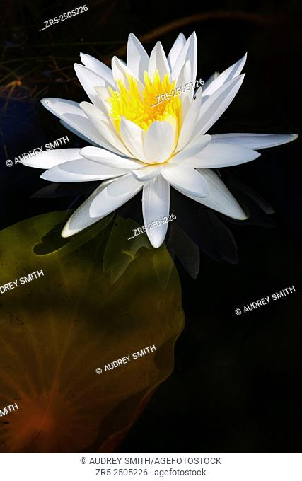 An American white water lily (Nymphaea odorata) - also known as the fragrant water lily, fragrant white water lily, and beaver root - floats over a submerged...