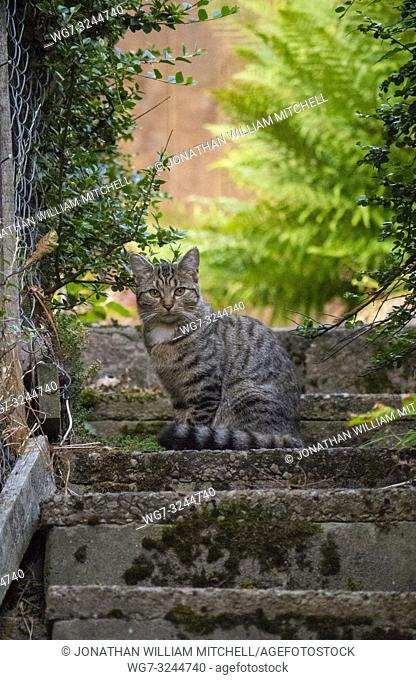 A tabby cat, possibly a cross breed with a Scottish Wildcat in a back garden in Bonar Bridge in the Scottish Highlands of Sutherland Scotland UK