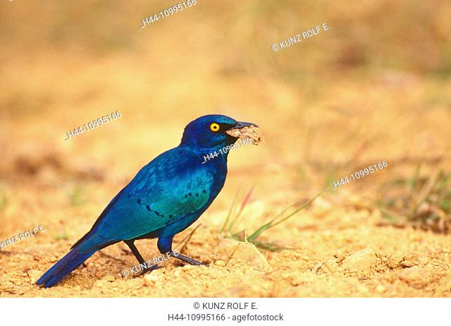 Greater Blue-Eared Starling, Lamprotornis chalybaeus, Starling, bird, animal, with cricket, Krüger, National Park, South Africa