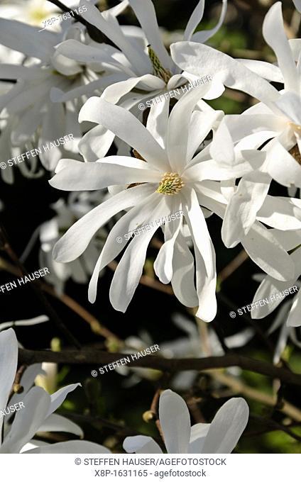 Star magnolia Magnolia stellata 'Royal Star'