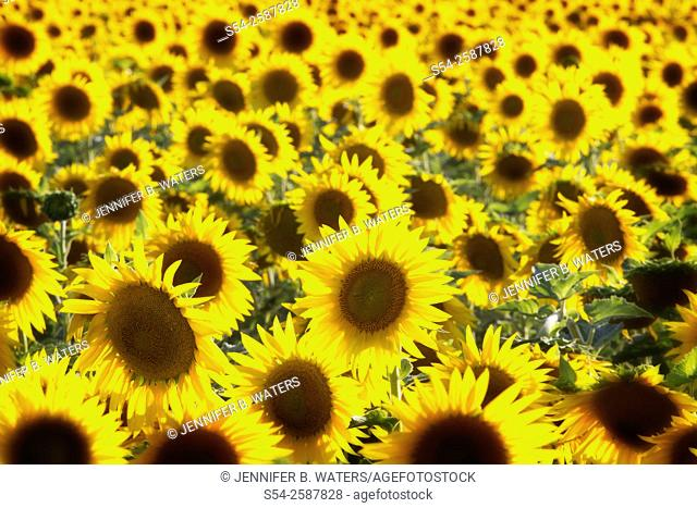 A field of sunflowers in Deer Park, Washington, USA