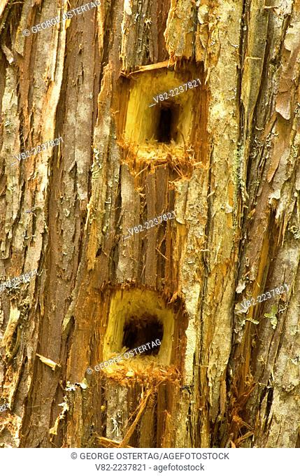 Pileated woodpecker holes, Okanogan National Forest, Washington