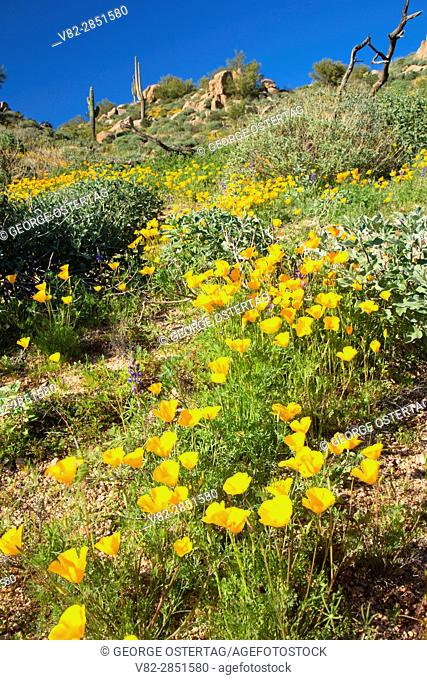 Mexican poppies above Barlett Reservoir, Tonto National Forest, Arizona