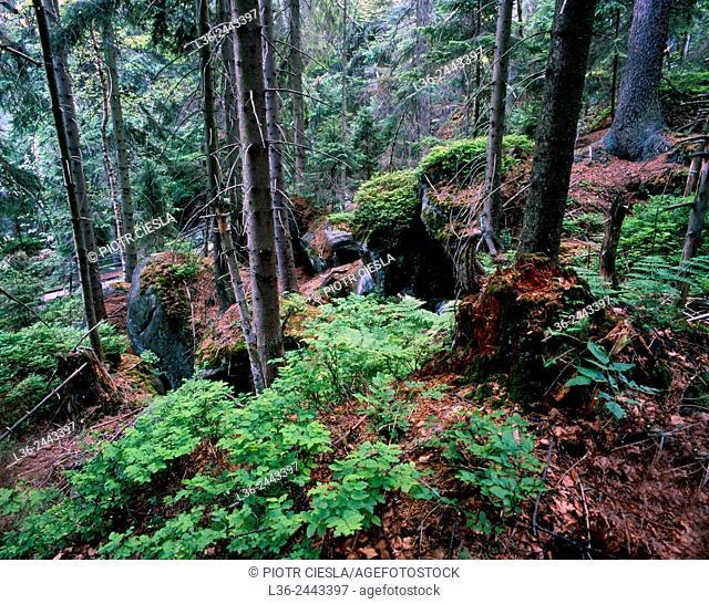 Mountain wood, Karkonosze (in German, Reisegebirge) mountains, Sudety mountaind, Poland