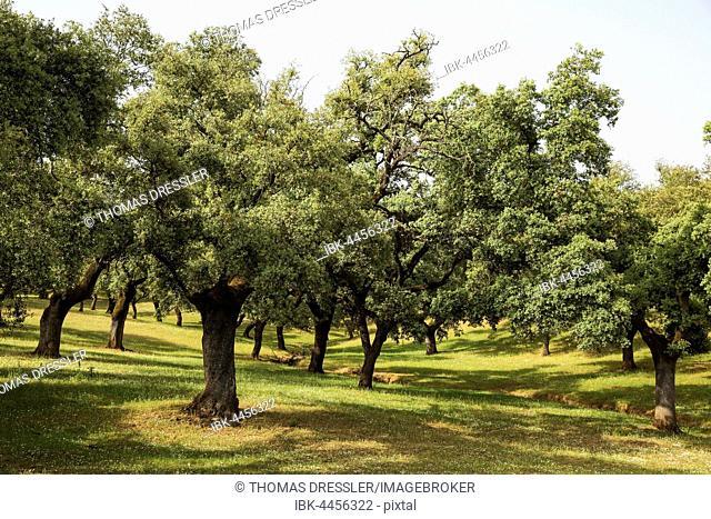 Dehesa pasture with holm oaks (Quercus ilex), Sierra de Aracena, Huelva province, Andalusia, Spain