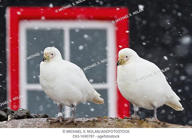 Adult snowy sheathbill Chionis albus pair in front of the hut at Port Lockroy, Antarctica, Southern Ocean