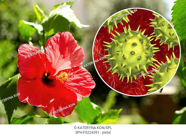 Hibiscus flower and pollen grain, composite image