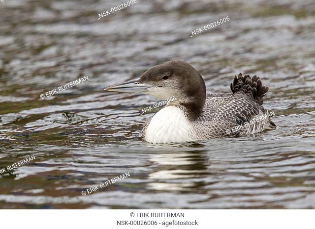 Great Northern Loon (Gavia immer) swimmimg ia a canal in midtown, The Netherlands, Zuid-holland