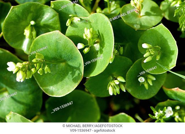 Miner's Lettuce (Montia perfoliata)