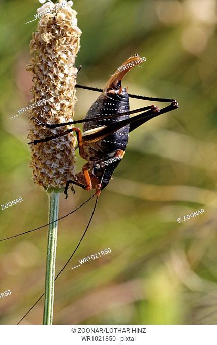 Barbitistes fischeri, Saw-talled Bush-cricket
