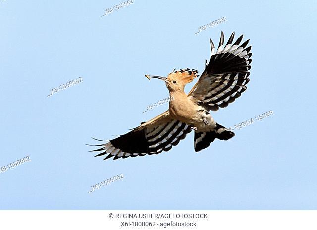 Hoopoe Upupa epops, in flight with food in bill, Portugal