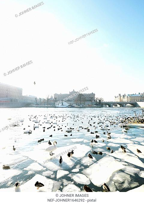 Birds on ice floe, parliament building in background