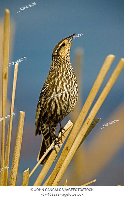Red-winged Blackbird-Female-Agelaius phoeniceus-New York-Abundant in marshes and fields-Occurs throughout U.S. and much of Canada and Mexico-Forms immense...