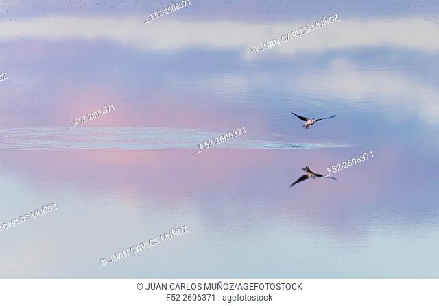 Little gull (Hydrocoloeus minutus or Larus minutus), Réserve Naturelle Marais D'Orx,Landes, France, Europe