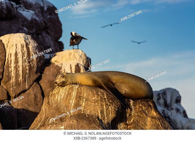 California sea lion, Zalophus californianus, hauled out at Los Islotes, Baja California Sur, Mexico
