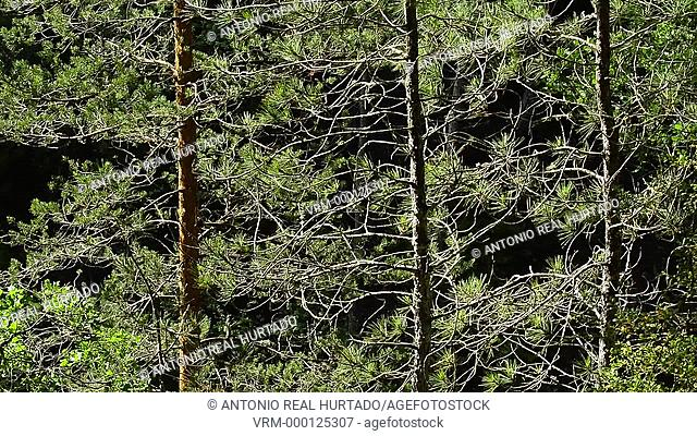 Pinus nigra and Pinus sylvestris forest. The Majadas. Cuenca mountain range natural park. Cuenca province. Spain