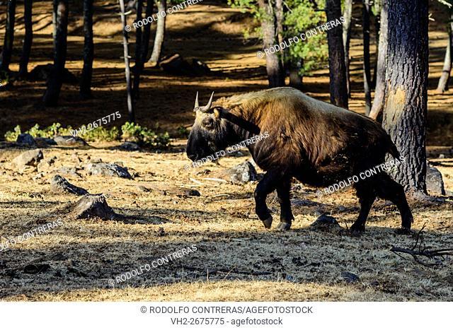 Takin, Bhutan's holy animal