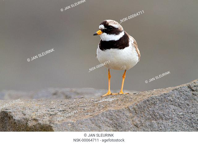 Common Ringed Plover (Charadrius hiaticula) standing on a rock, Iceland, Reykjaness, Grindavik
