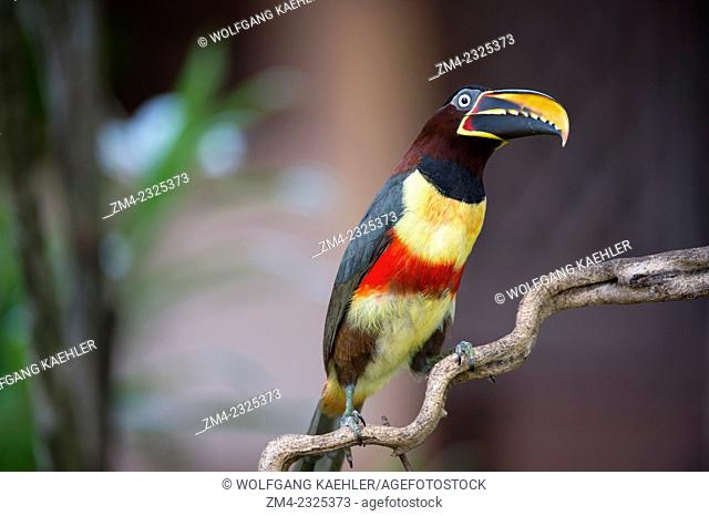 A Chestnut-eared aracari (Pteroglossus castanotis) on a branch of a tree near the Pixaim River in the northern Pantanal, Mato Grosso province of Brazil