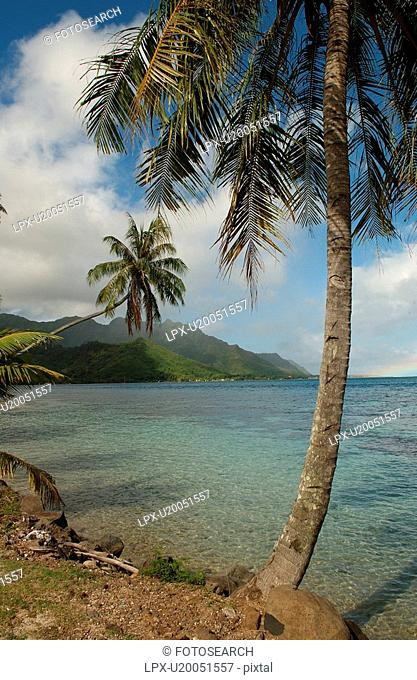 Palm trees on a beach, Moorea, Tahiti, French Polynesia, South Pacific