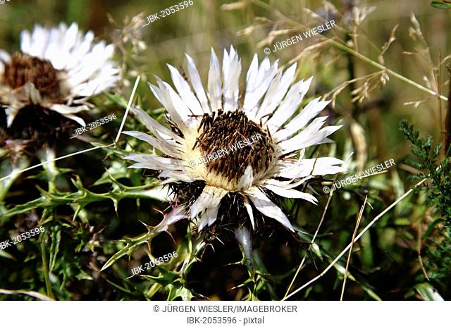 Stemless carline thistle, Dwarf carline thistle or Silver thistle (Carlina acaulis)