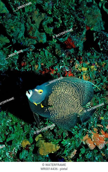 French Angelfisch, Pomacanthus paru, Caribbean Sea, Tobago