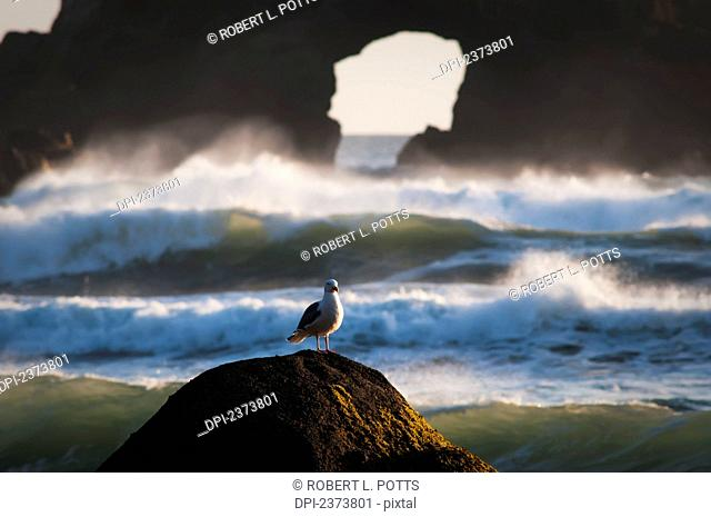 A Gull Rests On A Rock At Ecola State Park; Oregon, United States Of America