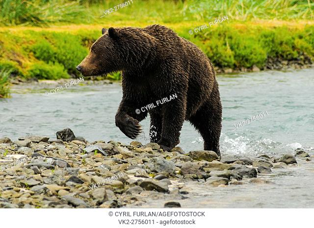 Grizzly Female Emerging from Salmon Stream Katmai N. Pk Ak