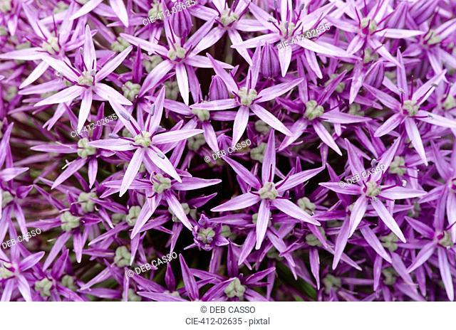Close up of allium blossoms