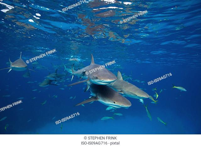 Reef sharks at the surface