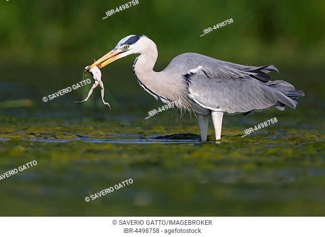 Grey Heron (Ardea cinerea), adult with a caught frog (Rana esculenta), Campania, Italy
