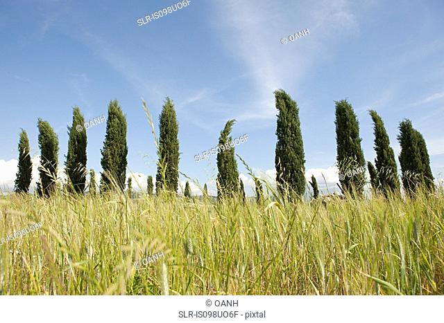 Cypress trees in field, Val d'Orcia, Italy