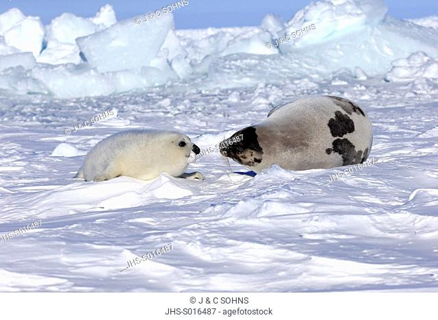 Harp Seal, Saddleback Seal, (Pagophilus groenlandicus), Phoca groenlandica, mother with young on pack ice, Magdalen Islands, Gulf of St