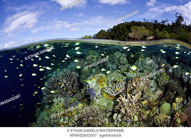Corals in shallow Water, Acropora sp., Melanesia, Pacific Ocean, Solomon Islands