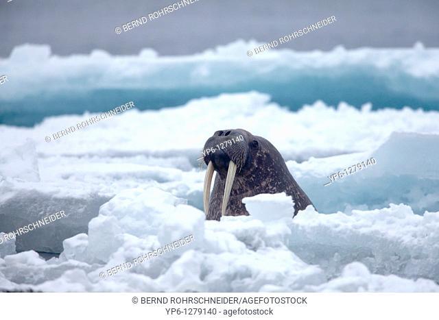 Walrus, Odobenus rosmarus, swimming in Arctic Sea between ice floes, Spitsbergen, Svalbard