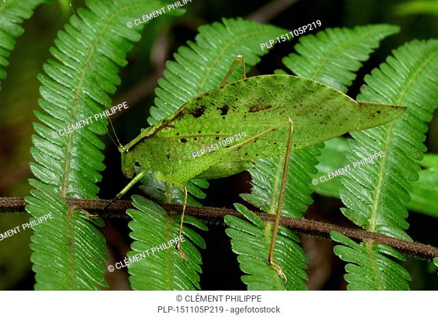 Leaf-mimic katydid (Orophus tesselatus) on fern, Costa Rica