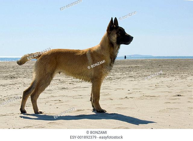 young belgian shepherd
