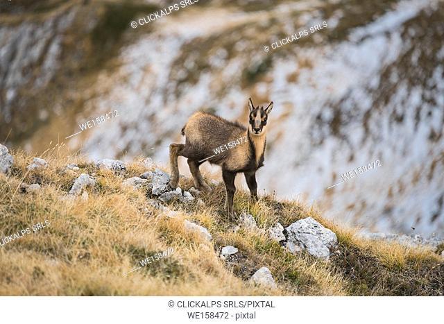 Young female of chamois, Gran Sasso, Campo Imperatore, L'Aquila province, Abruzzo, Italy