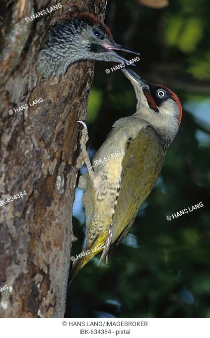 Green Woodpecker (Picus viridis), male feeding young