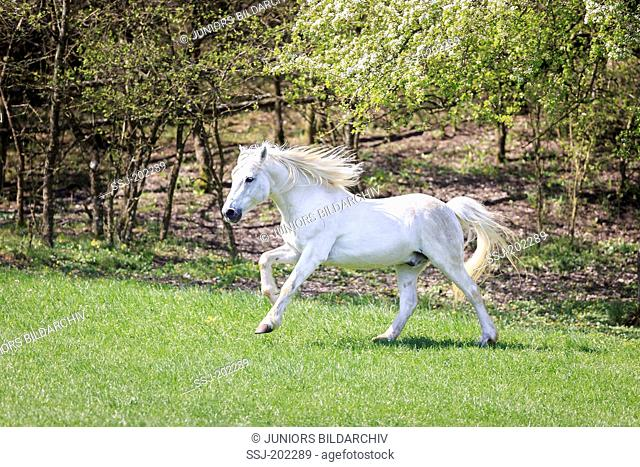 Connemara Pony. Gray stallion galloping on a pasture. Germany