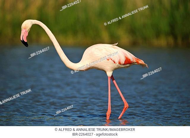 Greater Flamingos (Phoenicopterus ruber), Camargue, France, Europe