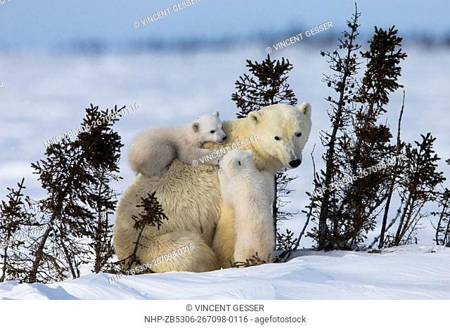 Polar bear (Ursus maritimus) mother and two cubs, Canada, Manitoba, 19