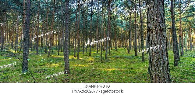 Scots Pine (Pinus sylvestris) - Brunssummerheide, Brunssum, Mijnstreek, Limburg, The Netherlands, Holland, Europe