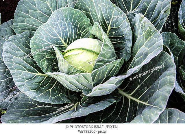 Head of Cabbage grows in a field