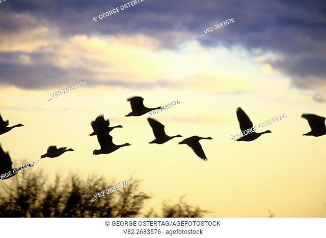 Canada geese silhouette in flight, William Finley National Wildlife Refuge, Oregon