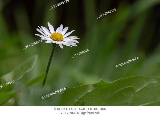 in a solitary daisy in the middle of a green grassy meadow stand out white petals and yellows pistils