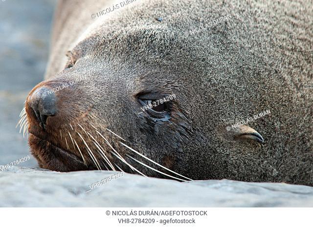 New Zealand Fur Seal (Arctocephalus forsteri)
