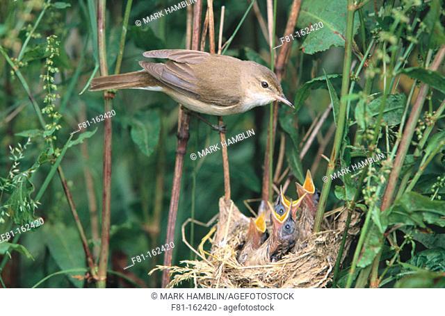 Reed Warbler (Acrocephalus scirpaeus), adult feeding chicks